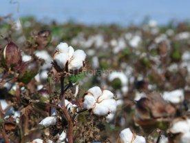 Repuntar�an la superficie algodonera y el protagonismo de los productores santafesinos