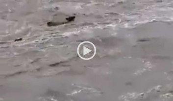 Video: un arroyo desbordado arrastra a las vacas