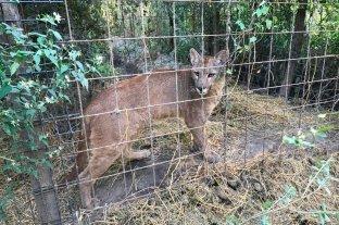 Desbarataron un zoológico clandestino en Santa Fe Gatos monteses, jabalíes y hasta un puma
