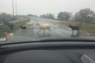 Animales sueltos en el acceso a la Ruta 1