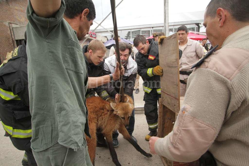 Traslado. El animal se colocó en una caja de madera para llevarlo a la Granja La Esmeralda. <strong>Foto:</strong> Pablo Aguirre