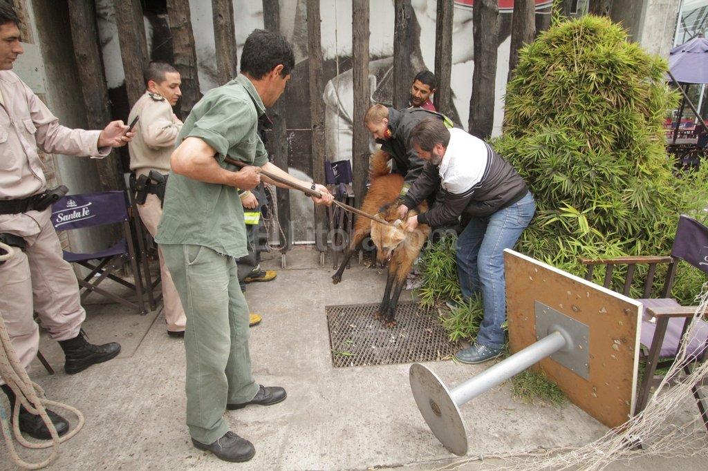 El aguará guazú apareció el lunes en el estacionamiento del shopping. Fue capturado y llevado a la Granja La Esmeralda. Crédito: Pablo Aguirre