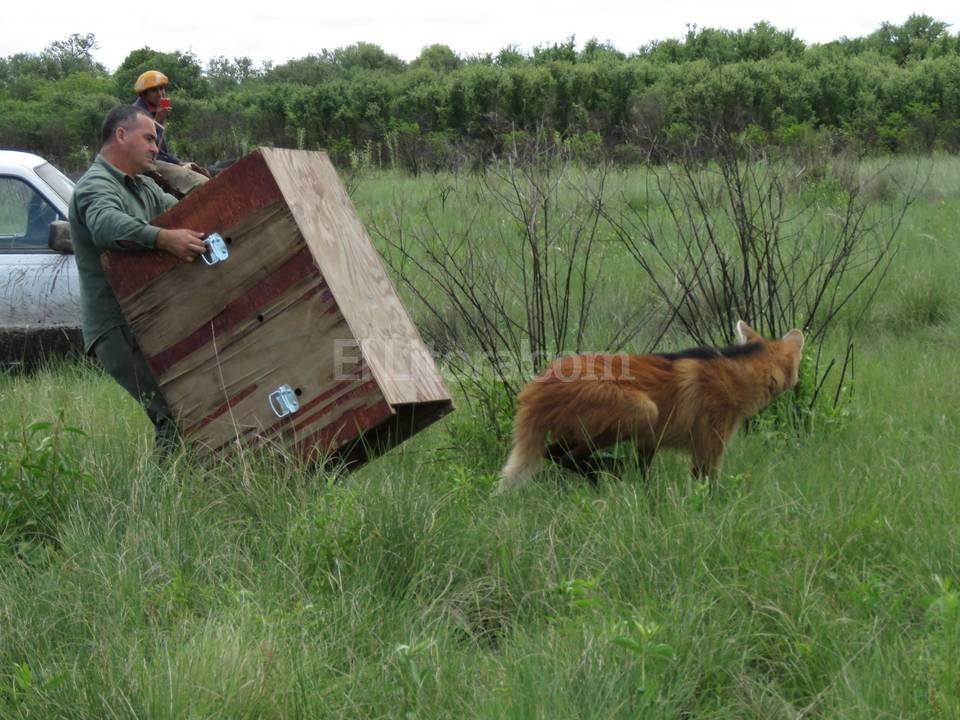 En su tierra. Desconfiado, el aguará guazú quedó unos segundos adentro de la caja en la que lo trasladaron. Luego, se perdió al trote entre los pastizales de la reserva El Fisco.  Mauricio Garín