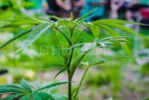 Se present� el proyecto para incorporar el aceite de cannabis