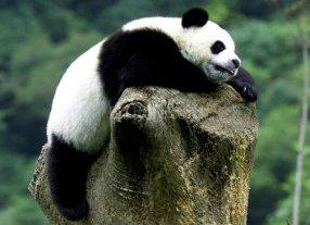 �Sab�as que los panda tienen debilidad por el az�car?