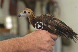 Orgullo local: nació un ave que estaba extinta en el país