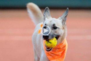 Video: usaron perros callejeros como alcanzapelotas