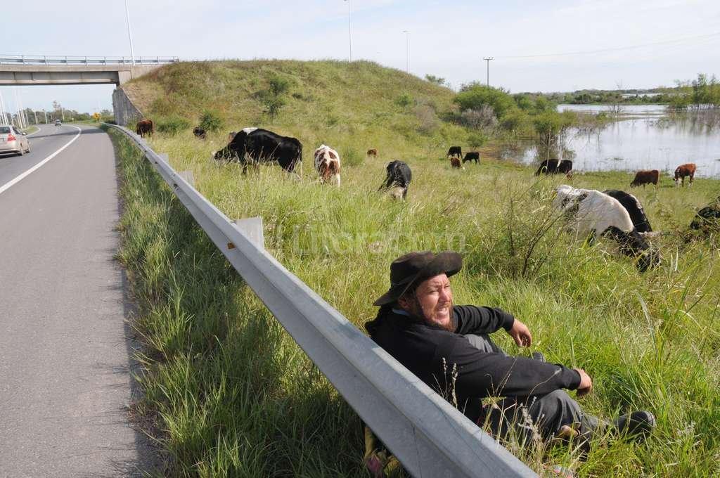 Claudio Lucero le contó a El Litoral que todos los días hace cuatro viajes para que sus vacas puedan comer. Las cruza por el puente de una de las colectoras de la 168.  Crédito: Flavio Raina
