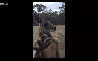 Desopilante: Un canguro se encontr� con un rival de su medida