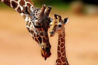 ¿A qué se debe la peculiar morfología de la jirafa? -