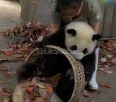 Estos panda no quieren que les limpien su casa -