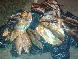 Incautaron m�s de 260 piezas de pescado no aptos para el consumo