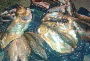 Incautaron más de 260 piezas de pescado no aptos para el consumo -
