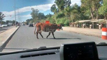 �Cuidado! Pasa la vaca por la Ruta 1