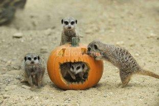 ¿Por qué las suricatas crecen más rápido si tienen rivales? -