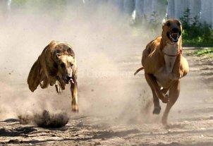 Proh�ben en Neuqu�n las carreras de perros