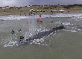 Encall� una ballena en Mar del Tuy�