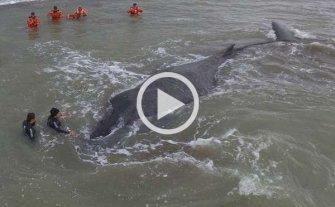 Muri� la ballena que fue liberada tras encallar en una playa de Mar del Tuy�