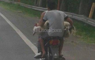 Con la oveja arriba de la moto