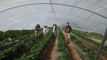 Preocupa a productores el robo en quintas de frutillas