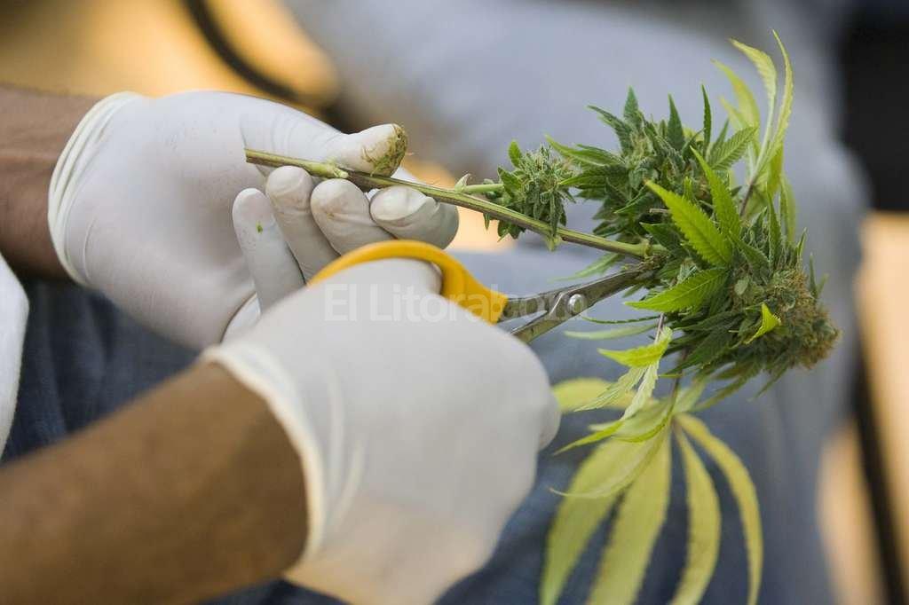 En Estados Unidos, el estado de California fue pionero en permitir el uso medicinal de la marihuana. Aquí, un horticultor corta hojas de una planta en Oakland. Archivo El Litoral
