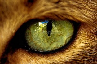 Según un estudio, las pupilas revelan forma de vida de animales