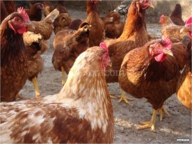 La comuna regalar� gallinas ponedoras