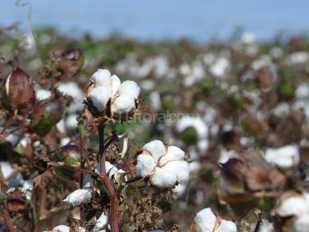 Arriba. El �rea algodonera se incrementar�a m�s de 27% respecto del a�o pasado. Foto:Juan Manuel Fern�ndez