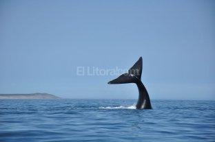Hay menos ballenas en el Golfo Nuevo