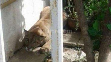 Apareci� un puma en el jard�n de una casa