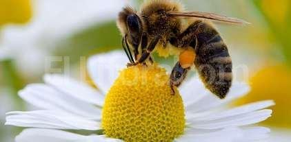 Alerta mundial para cuidar abejas y otros polinizadores