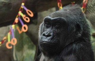 Murió Colo, la gorila criada en cautiverio más vieja del mundo