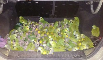 """Insólito: llevaba 146 loros """"habladores"""" en el bául del auto"""