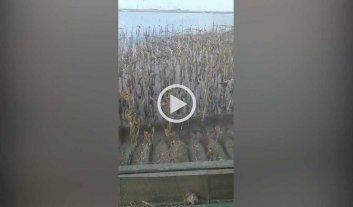Video: cosechan girasol bajo el agua