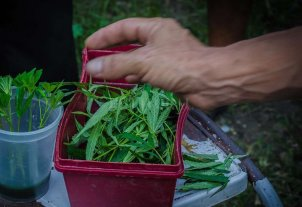 Aprobaron por ley el uso medicinal del cannabis en Mendoza