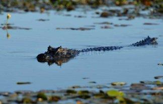 Se consolida un polo de investigación de cocodrilos de relevancia mundial