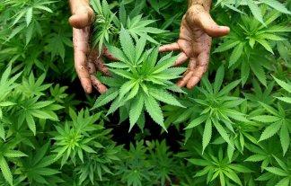 Es ley el uso medicinal de cannabis -  -