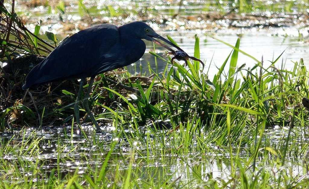 Al buche. El ornitólogo Pablo Capovilla obtuvo el preciado instante en el que esta garza azul se alimenta en el bañado del Parque de la Constitución. Come peces, ranas e insectos. Y puede tener de 3 a 7 huevos. Crédito: Gentileza Pablo Capovilla