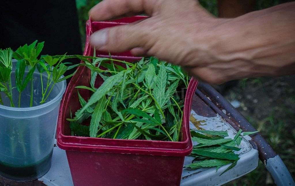 El 19 julio se inicia la venta de marihuana en farmacias