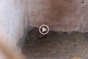 Video: rescataron un cachorro de puma en Ceres