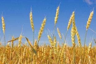 Cosecha de trigo da resultados inesperados para los productores