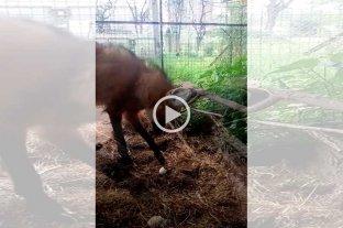 Video: así se recupera un aguará guazú atropellado