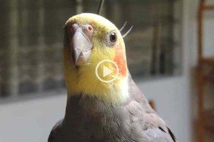 Una cacatúa imita el sonido del iphone a la perfección