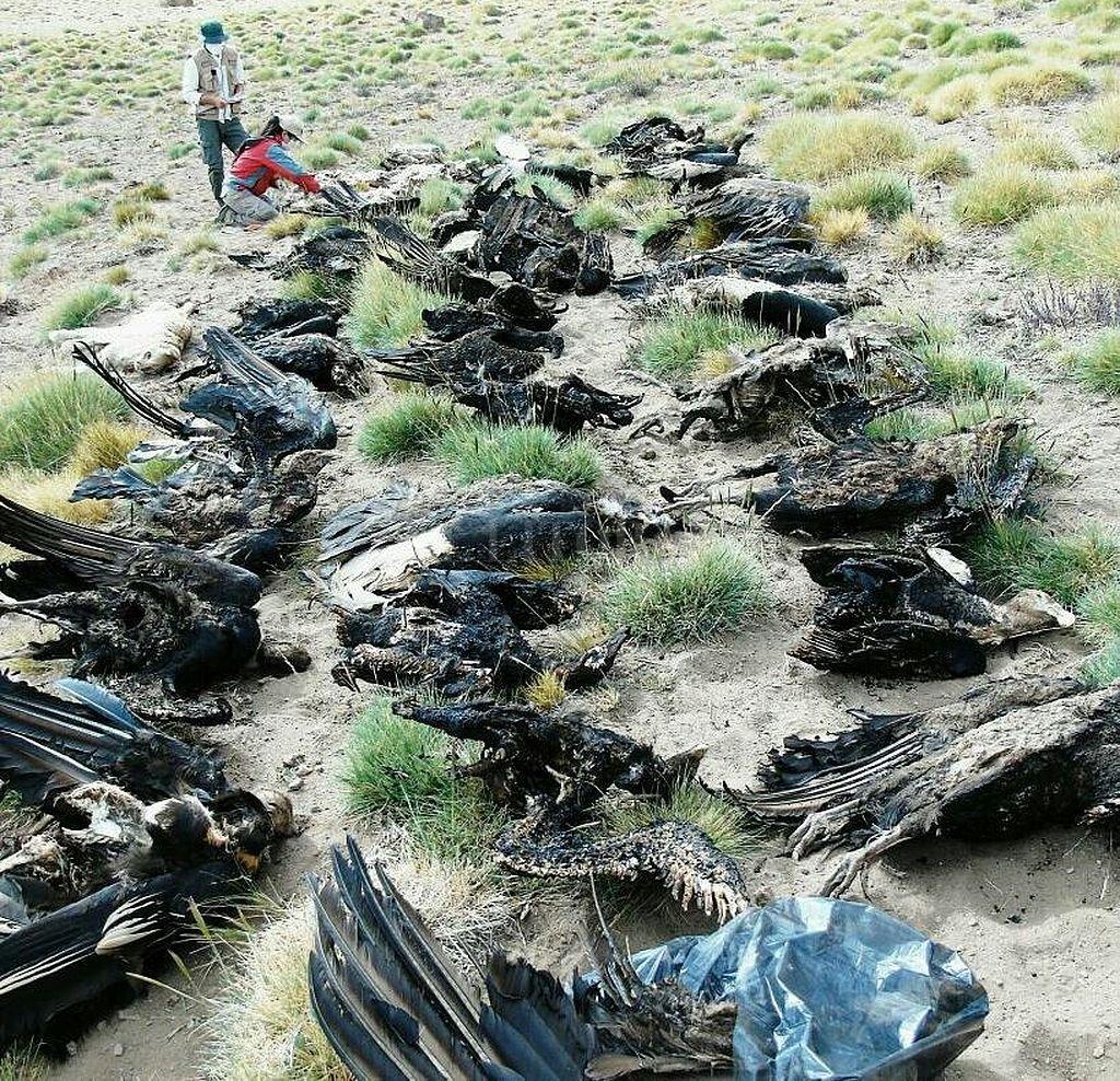 Programa Conservación Cóndor Andino