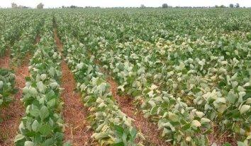 Soja de segunda y maíz de segunda, los cultivos más impactados por el período seco