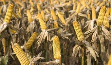 Tres nuevos cultivos biotecnológicos