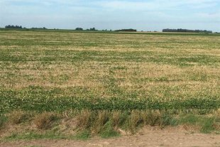 A 15 días del inicio de la cosecha de soja de primera, comenzó la cuantificación de las pérdidas
