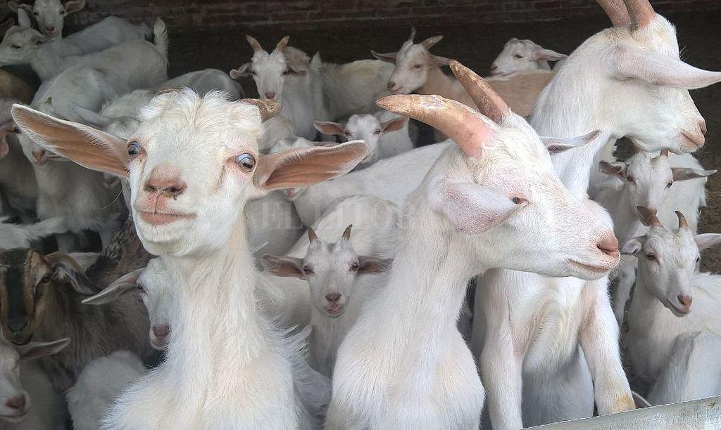 Cabras y ovejas son las especies más numerosas que había en el zoo. <strong>Foto:</strong> Archivo El Litoral