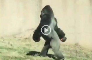 Es viral: el gorila que camina en dos patas como un humano