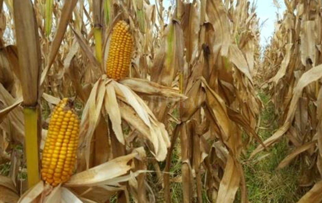 Lote de maíz de primera, en proceso de madurez fisiológica, pérdida de humedad de grano, en el sur del departamento San Martín. <strong>Foto:</strong> BCSF